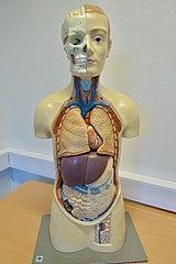 modelo anatomico